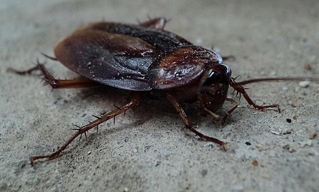 jak wygląda karaluch