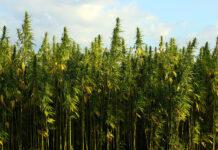 Ile tak naprawdę kosztują nasiona marihuany